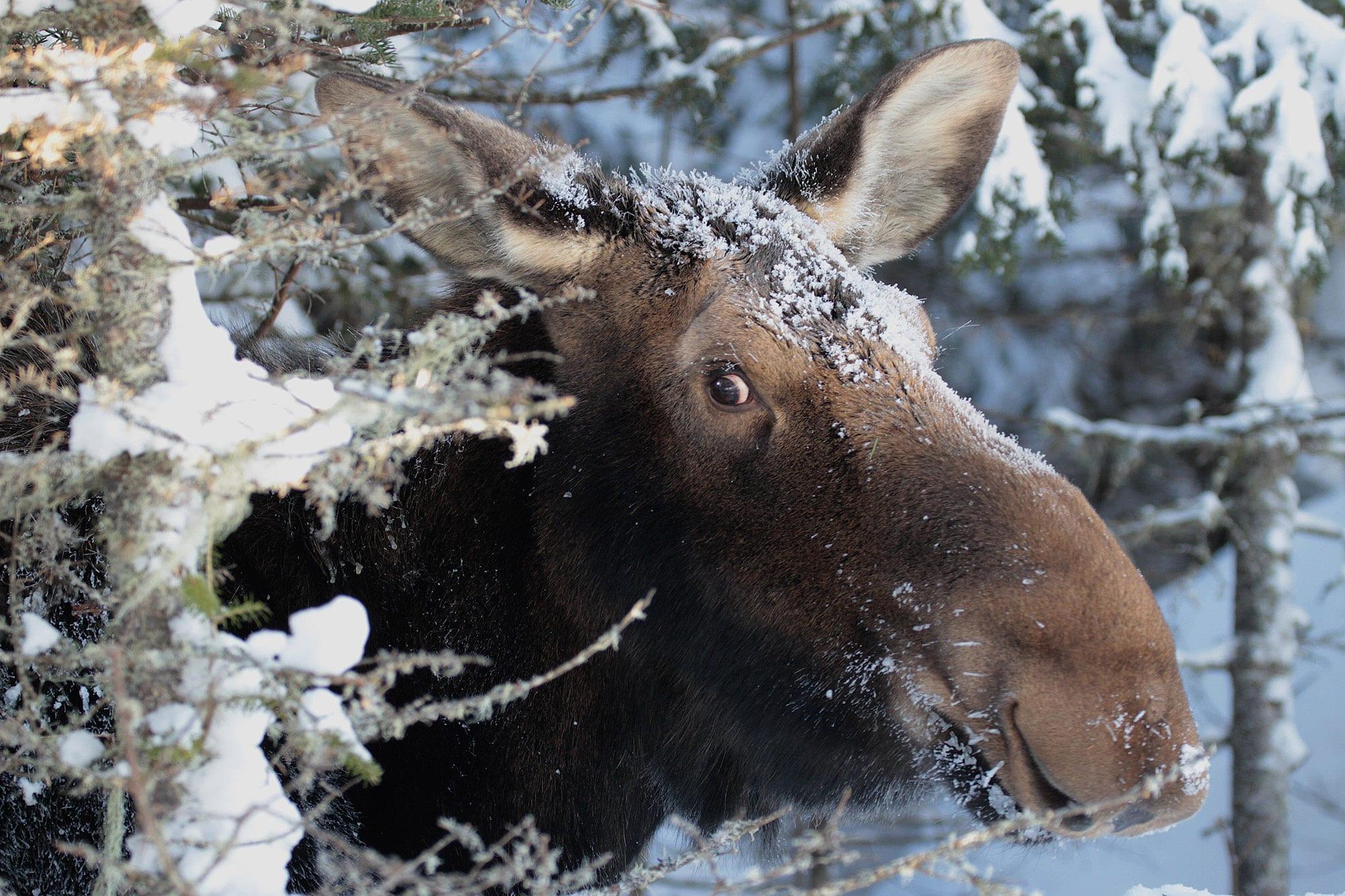 orignal dans la neige